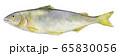 水彩イラスト 淡水魚 川魚 魚 鮎 65830056