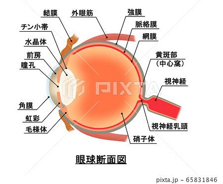 眼球断面図 65831846