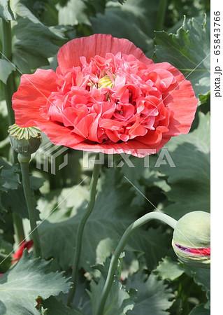 ケシの花 65843766