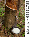 Natural latex dripping from rubber tree 65851785