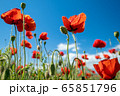 Red poppy flowers and blue sky 65851796