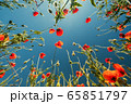 Bottom view of red poppies and blue sky 65851797