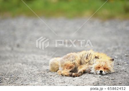 砂利道で眠るキタキツネ(北海道) 65862452