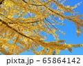 高野山 青空と参道の紅葉 銀杏の木 65864142