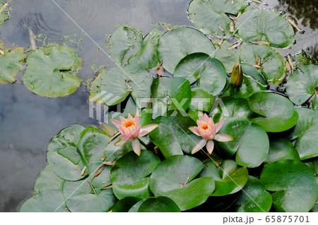 沼に咲くピンク色の美しい睡蓮の花 65875701