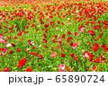 ポピーの花畑 国営みちのく杜の湖畔公園    宮城県川崎町 65890724