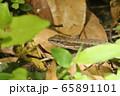 ニホンカナヘビ 65891101