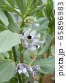 空豆の花 65896983