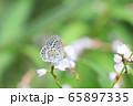野草の花蜜を吸うヤマトシジミ 65897335