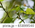 結実した柚子 65899540