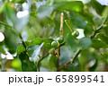 結実した柚子 65899541