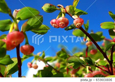 生き生きと育つ山の花(クロウスゴ 高山植物) 65903806