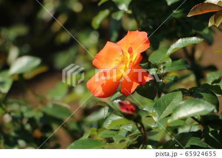 プレイボーイ~オレンジイエローの色が粋なバラ 65924655