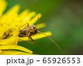 花の上のカメムシ 65926553