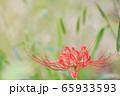 彼岸花 曼珠沙華 秋イメージ 艶やか 65933593