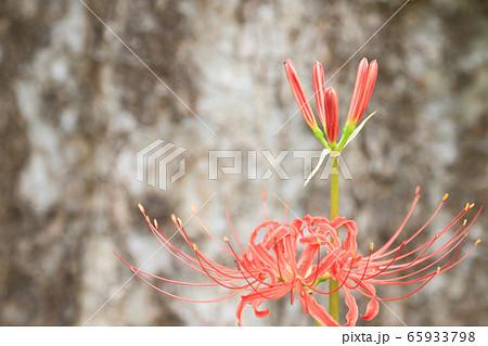 彼岸花 曼珠沙華 秋イメージ 巨木の根元に 65933798