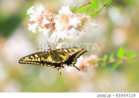 花蜜を吸キアゲハ 65934129