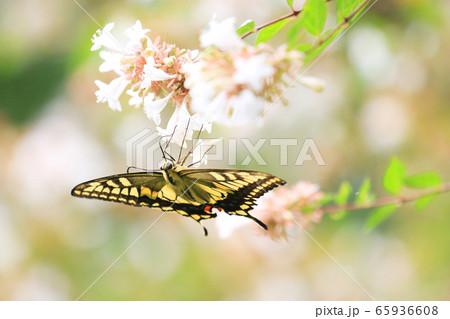 花蜜を吸キアゲハ 65936608