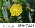 サボテンの花 65947884