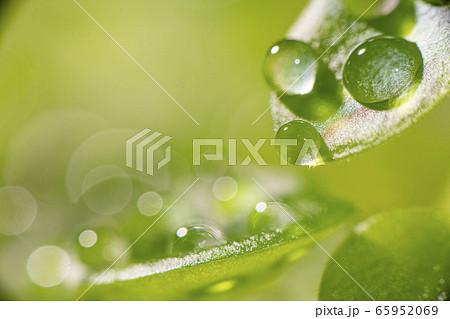 爽やかな新芽の葉と輝く美しい水滴と水玉 65952069