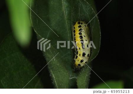 生き物 昆虫 キアシドクガ、蛹です。白と薄黄色の地色に黒い斑点。艶のあるきれいな蛹 65955213