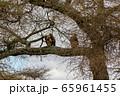 タンザニア・タランギーレ国立公園で見かけた、木の枝に留まるハゲワシ 65961455