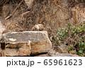 タンザニア・タランギーレ国立公園で見かけた、イワハイラックスの群れ 65961623