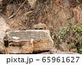 タンザニア・タランギーレ国立公園で見かけた、イワハイラックスの群れ 65961627