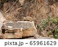 タンザニア・タランギーレ国立公園で見かけた、イワハイラックスの群れ 65961629