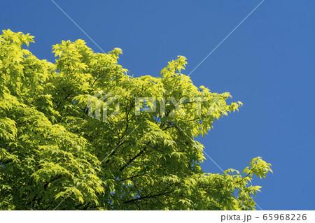 植物 春 緑 65968226