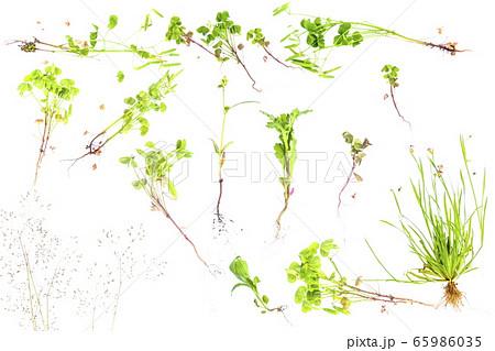 初夏のかわいい雑草を並べてみました_白背景 65986035