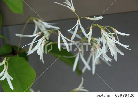 ヒトツバタゴの花 2020(1) 65989420