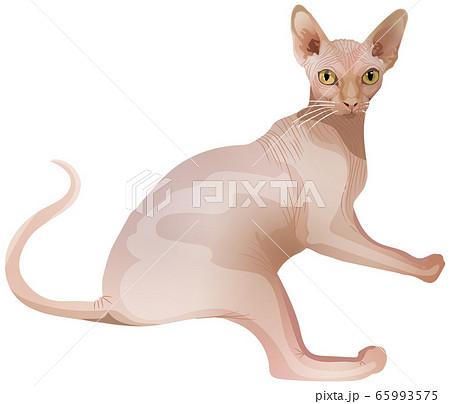 スフィンクス猫 65993575