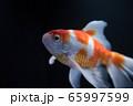 金魚 65997599