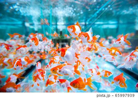 金魚 65997939