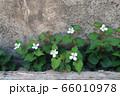 ドクダミの花 66010978