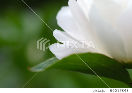 ハートの花びら(芍薬 シャクヤク) 66017343