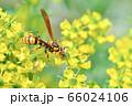 キアシナガバチ 66024106