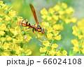 キアシナガバチ 66024108