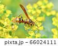 キアシナガバチ 66024111
