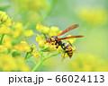 キアシナガバチ 66024113