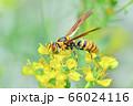 キアシナガバチ 66024116