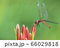 トンボ(アキアカネ) 66029818