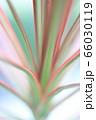 カラフルな葉(ドラセナコンシンネ) 66030119