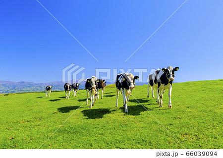 走る牛 66039094