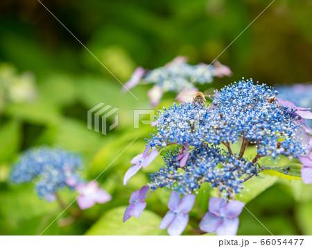 瑞々しく咲く雨上がりのアジサイとミツバチ 66054477