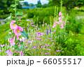 夏の花 タチアオイ 66055517