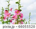 夏の花 タチアオイ 66055520