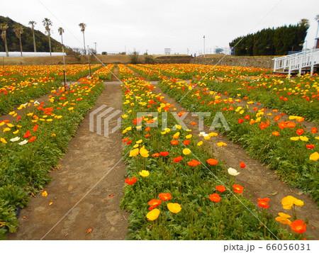 南房総館山ファミリーパークの満開のポピー畑 66056031