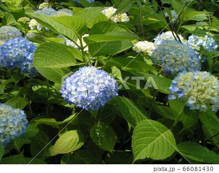 初夏を彩るアジサイの花 66081430